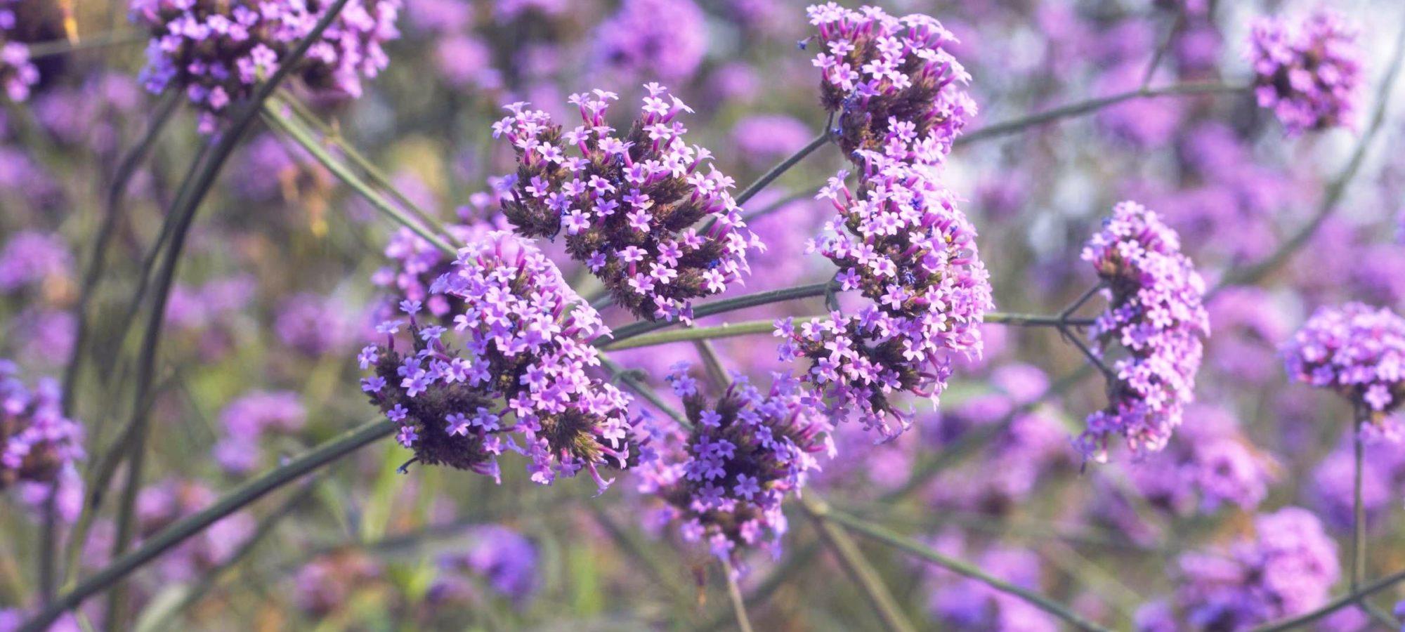 Verbena-bonariensis_De-prachttuinen-freshblue